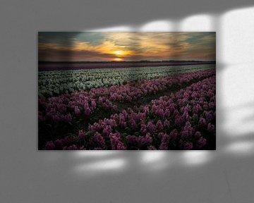Hyazinthen bei Sonnenuntergang von Gert Hilbink