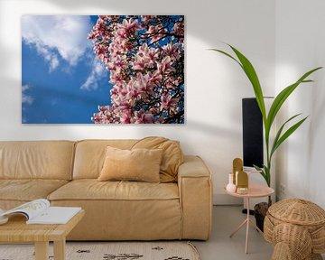 Magnolie in voller Blüte von pixxelmixx