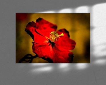 Rote Blüte von pixxelmixx