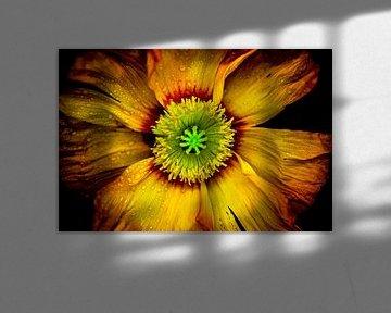 Feurige Mohnblüte von pixxelmixx