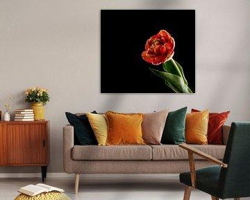 rote Doppeltulpe auf schwarzem Hintergrund von Compuinfoto .