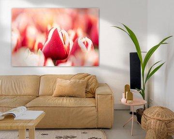 Tulp in het veld van Glenn Vlekke