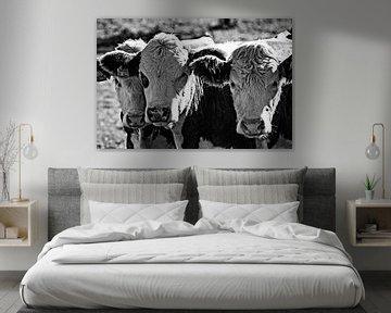 Drie koeien in zwart wit