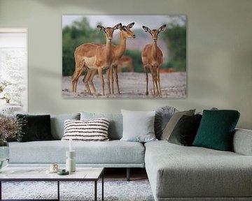 Impalas van Ed Dorrestein