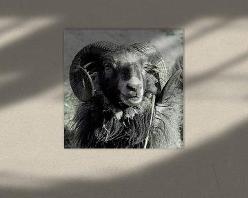 Ram, schaap. Portret. van Helene van Rijn