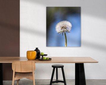 Paardebloem pluis, Dandelion van Sonja van Poorten