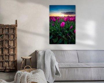 Die erstaunlichen Tulpen in den Niederlanden