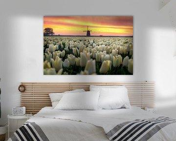 Holländische Tulpe Sonnenaufgang