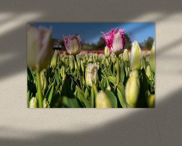 rosa Tulpe von Hélène Wiesenhaan