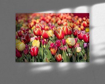 Farbige Tulpen im Tulpenfeld von Hélène Wiesenhaan