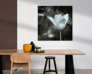 Weiße Tulpe. von Ad Van Koppen