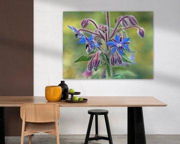 Bermagia-Pflanze mit blauen Blüten von Ronald Smits