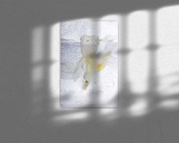 Witte narcis in ijs van Marc Heiligenstein