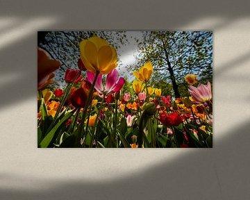 Tulpen aus Holland von Brian Morgan
