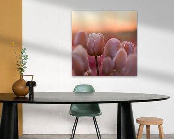 Tulipe pastel, format carré sur patricia petrick