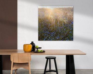 schöne blaue Kornblumen im Sommer und Weizenfeld im Gegenlicht der untergehenden Sonne von anton havelaar