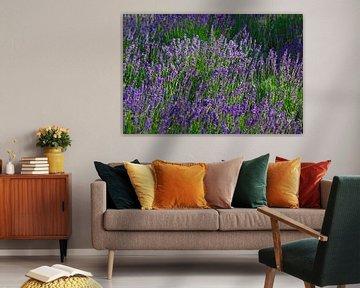 Lavendelfeld von Thomas Jäger