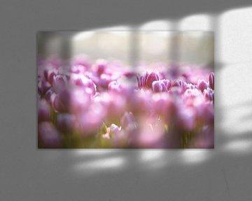 De prachtige tulpen in de bollenvelden