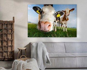 Des vaches, de près et sous un angle faible sur Marcel Bakker