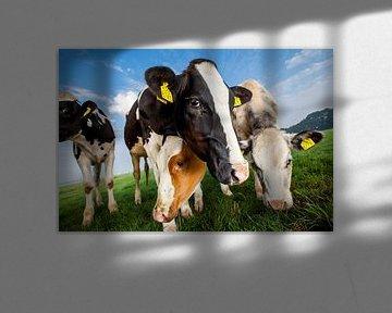 Des vaches curieuses, de près et de loin sur Marcel Bakker