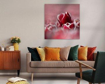 Rot-weiße Tulpe von Coby Bergsma