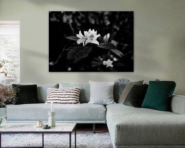 Kirschblüte von Iritxu Photography