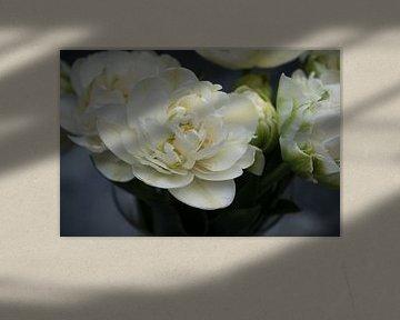 Weiße Pfingstrosen-Tulpe aus der Nähe fotografiert von Idema Media