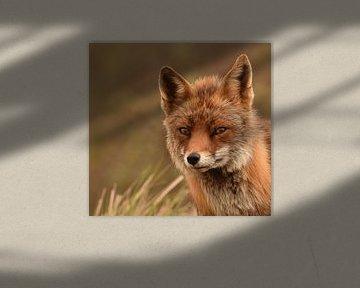 Nahaufnahme eines kleinen Fuchses in den Dünen von Marjolein van Middelkoop