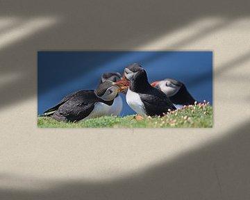 Papegaaiduikers: Love is in the air! (Fair Isle, UK) van Koolspix