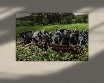 Drinkende koeien in Zuid-Limburg van John Kreukniet
