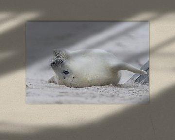 weiße Robben Welpe UP Seite nach unten