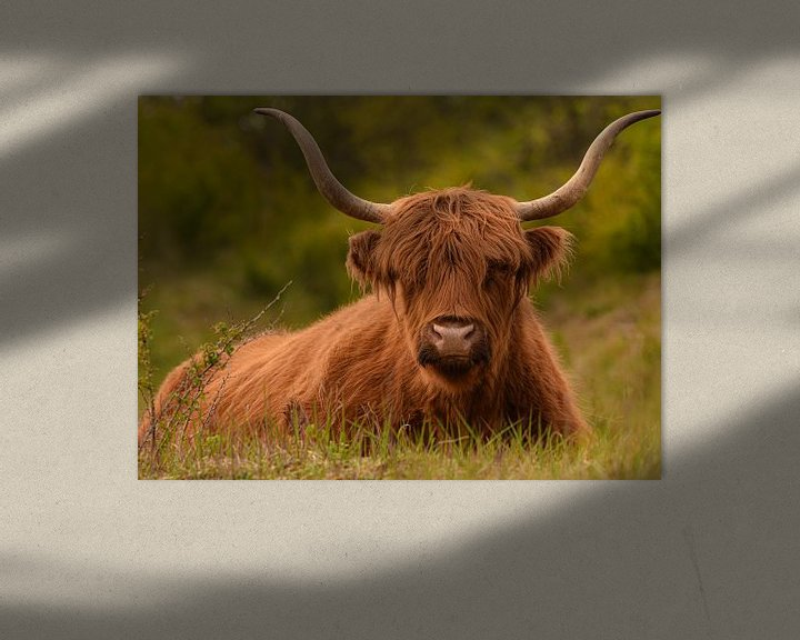 Beispiel: Zäher schottischer Highlander liegt farbig im Gras von Marjolein van Middelkoop
