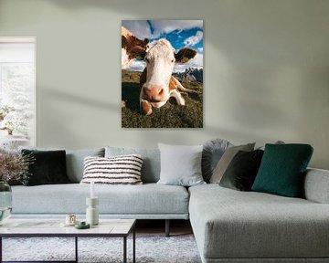 Italiaanse koeien in de wei met de Dolomieten op de achtergrond