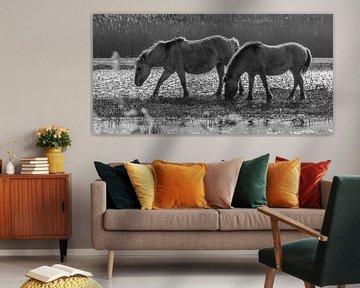 Konik-Pferde von Marcel Pietersen