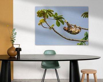 Faultier im Baum in Costa Rica von Corno van den Berg