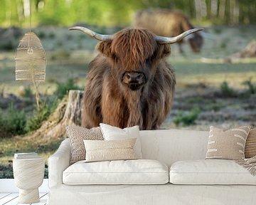 Jonge Schotse hooglander van gea strucks
