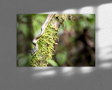 Schlangen-Costa-Rica-Reptilien von Ohana