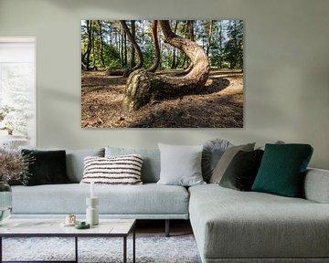 Krummer Wald (Krzywy Las)