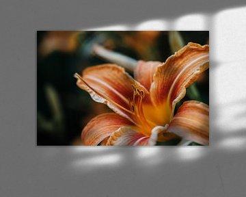 Oranje Lelie van Laura