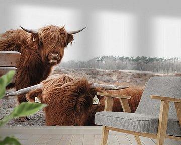 Schotse Hooglanders in Gasteren Drenthe van Laura