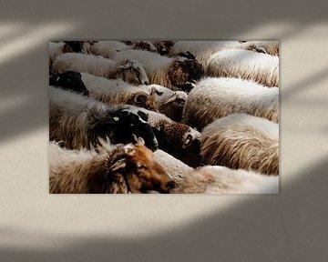 Troupeau de moutons dans la Drenthe sur Laura