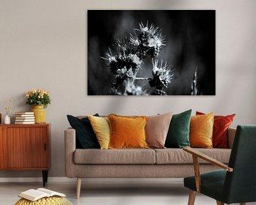 Phacelia auch Bienenbrot schwarz-weiß genannt von Frank Ketelaar
