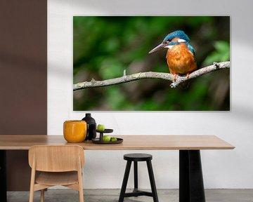 Kingfisher in panoramabeeld