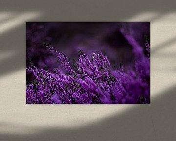 Königliches Violett von Lars Broekzitter
