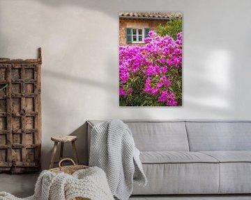 Purpur Bougainvillea im Dorf Fornalutx, Mallorca von Christian Müringer