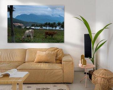 Grazende koeien aan de oostkust van Taiwan met de bergen op de achtergrond