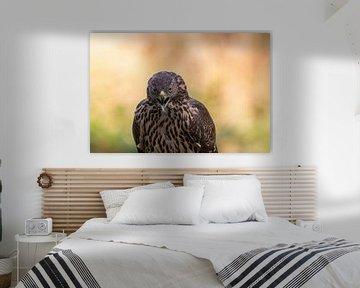 Havik met een prachtige achtergrond van Paul Weekers Fotografie
