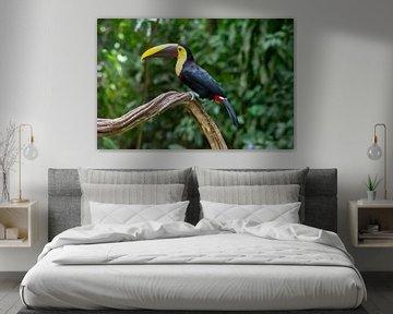 Tukan Costa Rica von Merijn Loch
