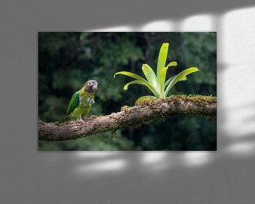 Regenbogenfarbene Papageien von Merijn Loch