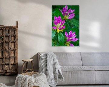 Blütenknospen der Rhododendron-Pflanze von Peter Apers
